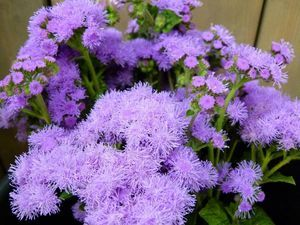 AGERATUM PRODUCTION BIO