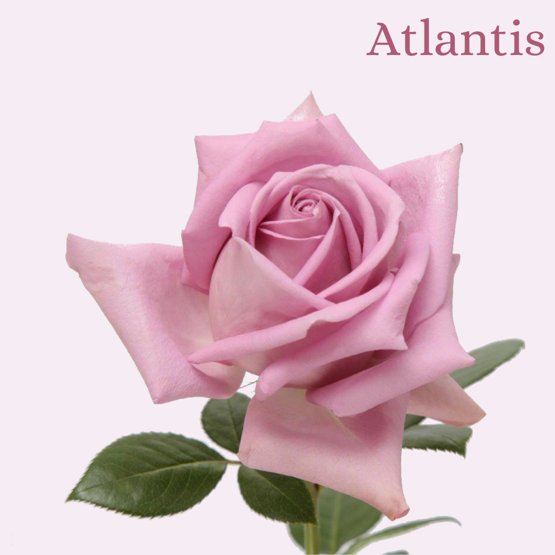ROSE ATLANTIS 50
