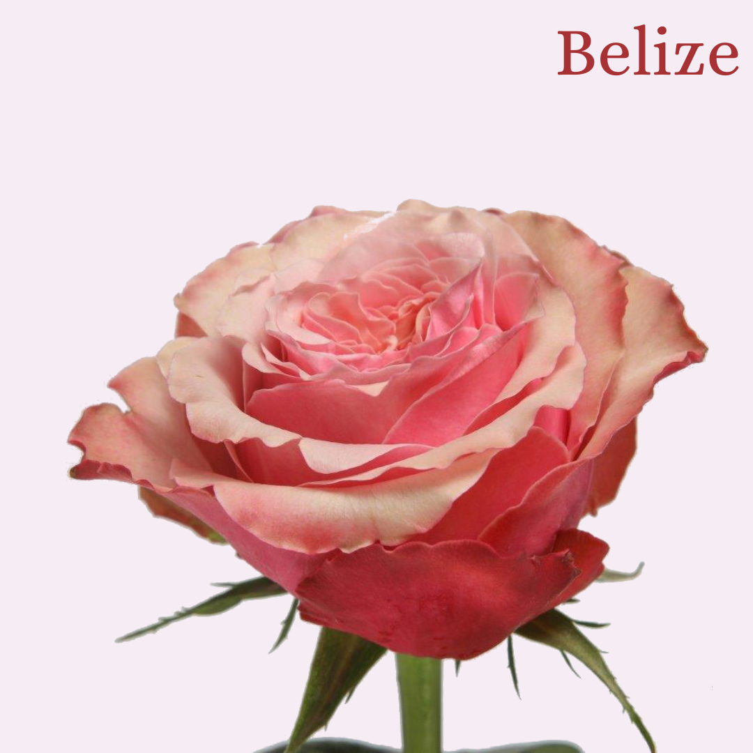 ROSE BELIZE 50