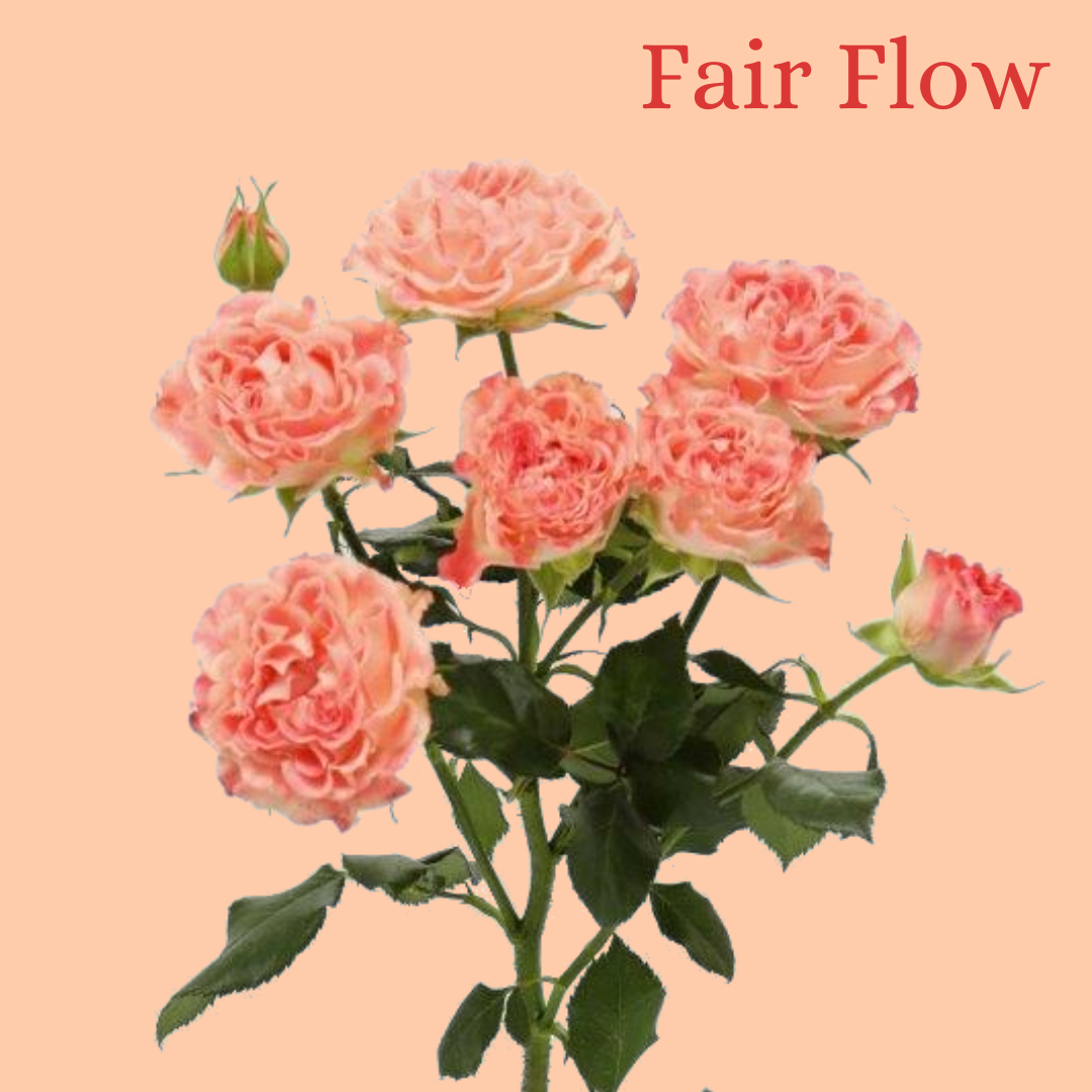 ROSE BR. FAIR FLOW 50