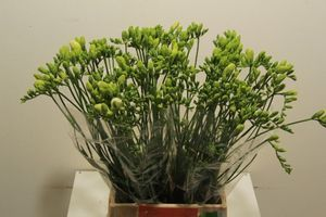 FREESIA ILSE 50