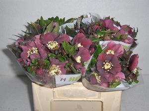 HELLEBORE QUEENS RED 40