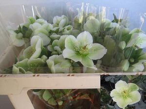 HELLEBORE MOLLY WHITE 40