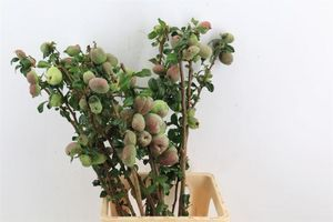 BR. CHAENOMELES JAPONICA ROUGE 110