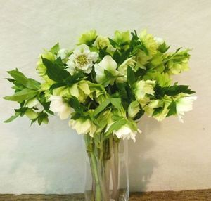 HELLEBORE QUEENS DB WHI 45