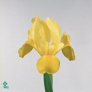 IRIS GOLDEN BEAUTY 68