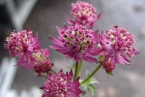 ASTRANTIA STAR OF LOVE 40