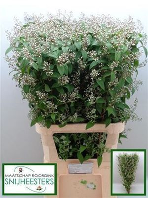 DEUTZIA MAGICAL SPRI 100