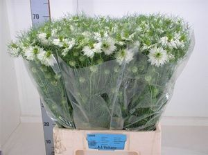 NIGELLE DA POWER WHITE 60