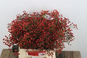 FRUIT DE ROSIER MAGICAL DELIGHT 40CM XXL 40