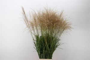 FEUIL. MISCANTHUS SINENSIS OV 90