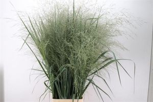 FEUIL. PANICUM DALLAS BLUE SUPER L150