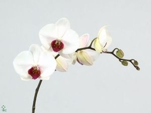 ORCHID. PHALAENOPSIS RED LIPS .X10