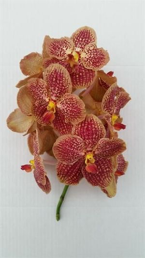 ORCHID. VANDA INDIAN RED 60 .X16