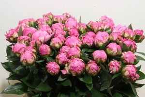 PIVOINE ALEX FLEMING 40 Fleurs de France