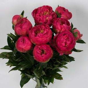 PIVOINE CORAL SUNSET 50