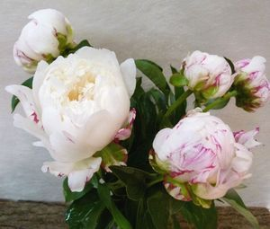 PIVOINE MARY 50 Fl de France