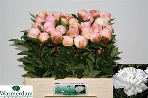 PIVOINE WHITE GRACE 55