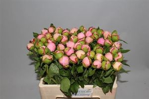 PIVOINE ANGEL 50 Fleurs de France