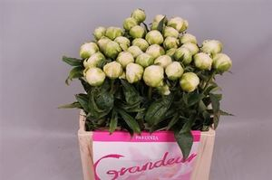 PIVOINE BROTHER CHUCK 55