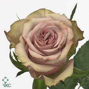 ROSE HYPNOSE 50