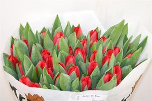 TULIPE ANTARCTIC FIRE 42